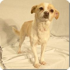 Columbia, TN - Chihuahua Mix. Meet Little Kahuna, a dog for adoption. http://www.adoptapet.com/pet/10484992-columbia-tennessee-chihuahua-mix