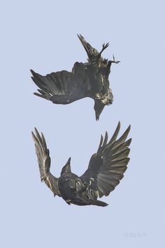 The Dance (Photographer: Norman Rich). Aerial acrobatics, demonstrations of intelligence, and ability to provide food are key behaviors of ravens courting. Corvo Tattoo, The Wicked The Divine, Aerial Acrobatics, Aerial Dance, Quoth The Raven, Jackdaw, Crows Ravens, Tier Fotos, Bird Feathers
