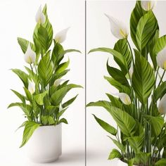 Spathiphyllum Plant Model, this model plant piece of Art, Textures low-poly model ready for Virtual, accurately design for perfect visualization Peace Lily Plant, Cloud Decoration, Low Poly 3d Models, Plant Information, 3d Visualization, 3d Projects, Indoor Plants, 3 D, Plant Leaves