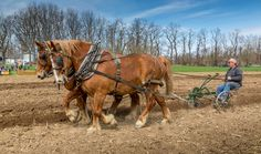 Draft Horses Plowing at Old Fashioned Day