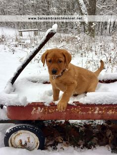 Welcome to the Family Kimber | Balsam Branch Kennel | Fox Red Labrador | Puppy | Snow | Wisconsin | Outdoor | fox-red-lab-balsam-branch-kennel-welcomes-kimber