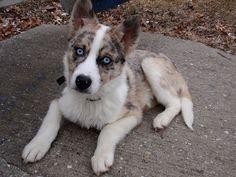 Husky Mix, Husky Puppy, Animals And Pets, Baby Animals, Cute Animals, Australian Shepherd Husky, Cute Dogs And Puppies, Doggies, Kitten Love