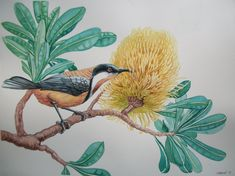 Traditional Painting by M. Boulad. Eastern Spinebill, Banksia.