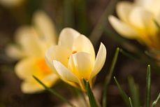 #Krokus #wallpaper #spring #flower