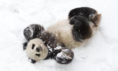 Giant panda Tian Tian rolls in the snow in 2009.