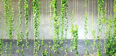 Green Walls in Good Will Inc. Indoor Climbing Plants, Outdoor Plants, Indoor Garden, Garden Dividers, Vertical Green Wall, Climber Plants, Fachada Colonial, Green Facade, Balcony Plants