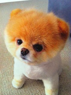 This dog: Boo, is considered the cutest dog in the whole world! I dare you to find one cuter.
