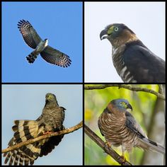 Hook-billed Kite (LC) South Texas, Raptors, Kite, Vulnerability, Parrot, Owl, Birds, Animals, Parrot Bird