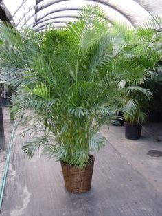 Areca Palm tree - looks great indoors AND purifies the air better than most house plants