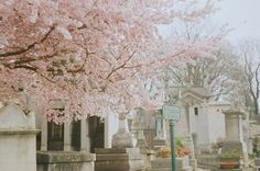 Sakura........pere lachaise by asya baranova, via Flickr
