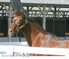 Alysheba at the Ky Horse Park November 6, 2008