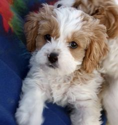 Cavapoo (Cavalier King Charles Spaniel-Poodle mix) puppy