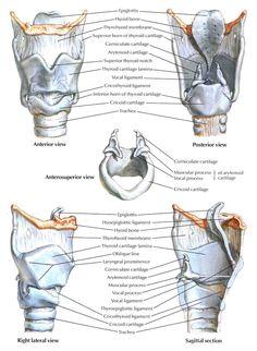 framework of the larynx - Google 검색