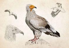 scientific illustrations of birds on Behance