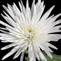 Spider Anastasia White Flower Wedding Ideas 3 Pinterest