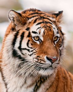 Beautiful portrait of Siberian tiger Big Animals, Majestic Animals, Animals And Pets, Tiger Pictures, Animal Pictures, Beautiful Cats, Animals Beautiful, Tiger Photography, Save The Tiger