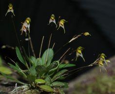 Specklinia cabellensis (ex Pleurothallis cabellensis )