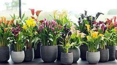 Calla gedeiht im Zimmer wie auch im Garten. (Quelle: Pflanzenfreude.de)