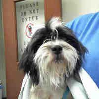 Phoenix Az Shih Tzu Meet A Dog For Adoption Shihtzu Pets