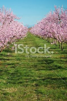 Lines of Peach Trees in Blossom Royalty Free Stock Photo