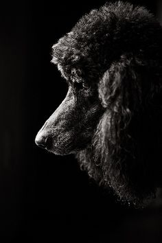 Poodle ~* I am not a poodle person, but I think this portrait is exquisite!