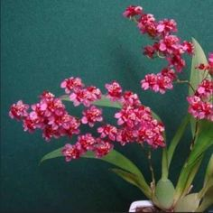 Oncidium Twinkle 'Pink Profusion' orchid plant