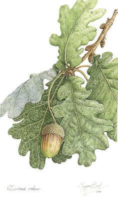 "Margaret Best   Quercus robur English oak Sold to private collection Size: 9.5"" x 14"" Watercolour on paper"