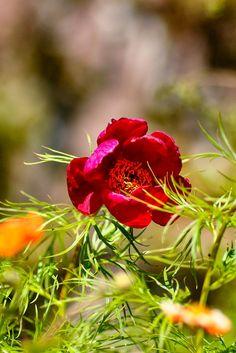 Photo listed in Nature Shot taken with NIKON 11 shares, 18 likes and 502 views. Paeonia Tenuifolia, Nikon D90, Wall, Nature, Plants, Naturaleza, Walls, Plant, Nature Illustration