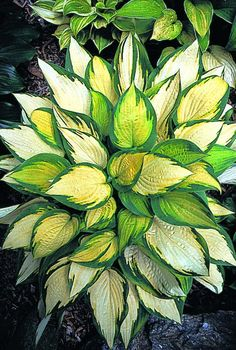 Orange Marmalade Hosta - One of the only orange hostas; it will make your shade garden really stand out!