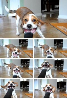 Beagles have to be the funniest dogs ever! Pet Dogs, Dogs And Puppies, Dog Cat, Funny Dogs, Funny Animals, Cute Animals, Cute Poster, Beagle Puppy, Animal Quotes