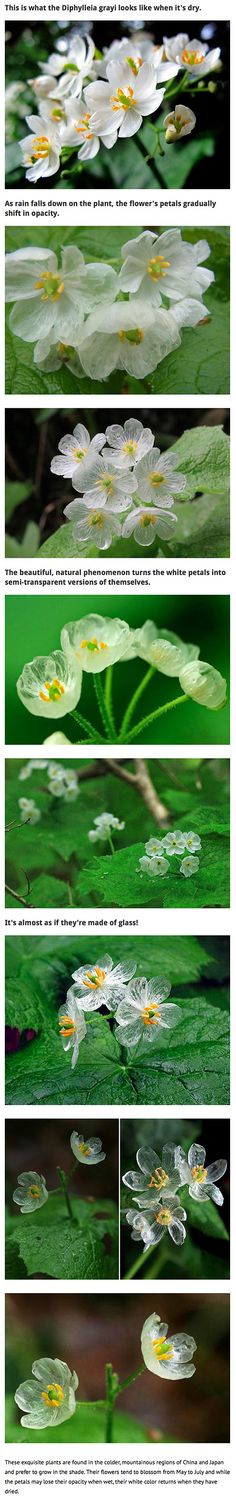 Like something straight out of a fairy tale, there are flowers that exist among us called Diphylleia grayi (aka Skeleton Flower) whose white petals become transparent when raindrops touch down on them.​