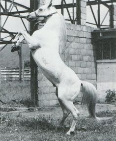 *RAFFLES (Skowronek x Rifala by Skowronek) ~ Photo by Linda Sale   The Crabbet Influence in Arabians Today May-June 1988