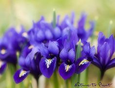 Kunstdruck und Leinwandbild mit Blumenbild Irisblüten im Garten