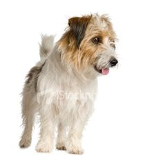 """Long haired Jack Russell   Looks like our rescue """"Jack"""""""