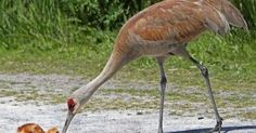 Sandhill Crane and Chick (Peggy Collins) for https://handbooking.tech.blog Picturing https://www.pinterest.com/handbook62/picturing/