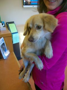 Small crossbreed  (Beagle x Pomeranian) Male, cream colored. Found 12/13, Tasman and Lawrence Expressway