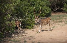 a reason why leopards are spotted commonly at wilpattu. their favourite meal is out there in the open - spotted deer