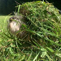 One more day in the hay, well still freshly cut grass, which sometimes comes with lukewarm grasshoppers, ready to be turned into protein nutrition. Love those autumn days.   #LagottoRomagnolo #hay #bath #wuffclickpic Lagotto Romagnolo, Protein Nutrition, Grasshoppers, Dog Mom Gifts, One More Day, Dog Hacks, Nature Pictures, Dog Owners, Chanel