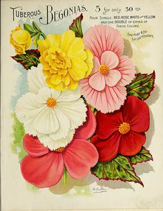 Begonia, tuberous. Vick's Garden and Floral Guide (1898)