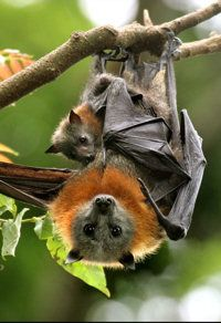 Wildlife Queensland - Grey-headed Flying Fox Reptiles, Mammals, Bat Flying, Fruit Bat, All About Animals, Creatures Of The Night, Australian Animals, Nocturne, Habitats