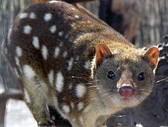 Spotted Quoll #Australia