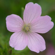 "? Geranium x oxonianum 'Rebecca Moss' (Crane's Bill)  Height & Width Range 	2' x 3' 3"" (60cm. x 1m ) Flowering Period	July Plant Group	Perennial Genus	Geranium Plant Colour	Light Pink Suitable locations	      Dry and shady     Dry and sunny     Moist and sunny     Moist and shady  Soil preference	Any Best Situated	Sheltered positions"