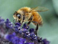 Honeybee by Twingle Mathali on 500px