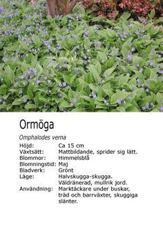 Omphalodes verna - Ormöga Parsley, Herbs, Herb