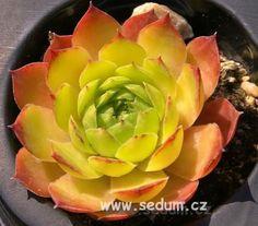 Sempervivum 'Andinn My Darling' Types Of Succulents, Cacti And Succulents, Planting Succulents, Succulent Images, Plant Magic, Succulent Gardening, Hens And Chicks, Heuchera, Super Natural