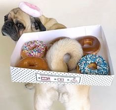 Exceptional pug dogs info is available on our internet site. Check it out and you wont be sorry you did. Baby Animals Pictures, Funny Animal Pictures, Dog Pictures, Cute Pugs, Cute Funny Animals, Silly Dogs, Funny Dogs, Baby Pug Dog, Pugs In Costume