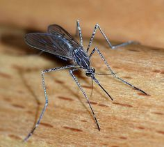 How to Get Rid of Mosquitoes Naturally - InfoBarrel