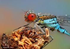 Amazing Macro Photographs of Insects Covered in Dew