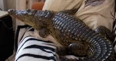 Just Plain Stupid: Russian Man Tries to Train Baby African Crocodile as a Pet... and Any Guesses as to How the Story Ends? Hint: Man Can No Longer Go in One Room in His Apartment. Moral of the Story? Leave Nature Right Where it Belongs... in Nature!