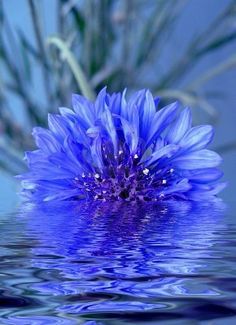 Cornflower reflections